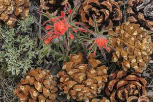 Indian paintbrush and pine cones in Great Basin National Park, Nevada, USA by Chuck Haney