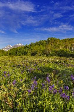 Larkspur and other spring wildflowers in the Lewis and Clark National Forest, Montana, USA by Chuck Haney