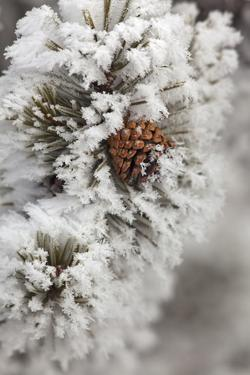 Lodgepole Pine cone in winter in Yellowstone National Park by Chuck Haney