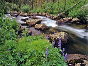 Lupine Along Jacobsen Creek in the Pioneer Range of Montana, USA by Chuck Haney