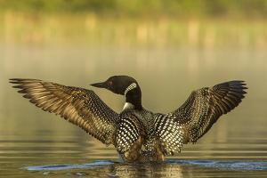 Male common loon drying his wings on Beaver Lake near Whitefish, Montana, USA by Chuck Haney