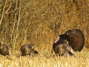 Male Tom Turkey with Hens, Farm in the Flathead Valley, Montana, USA by Chuck Haney