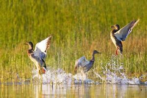 Mallard ducks takeoff from Whitefish Lake in Montana by Chuck Haney