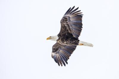 Mature bald eagle in flight at Ninepipe WMA, Ronan, Montana, USA by Chuck Haney