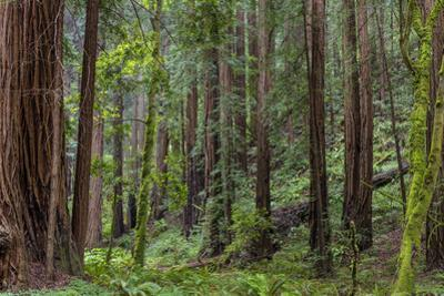 Mature Redwood Forest in Muir Woods National Monument in Mill Valley, California, Usa by Chuck Haney