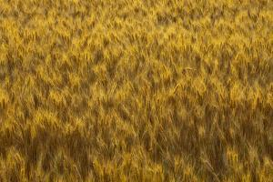 Mature wheat heads in the Palouse of Washington by Chuck Haney