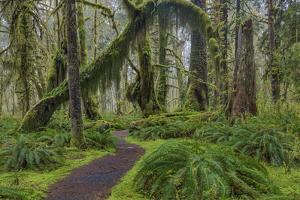 Mossy lush forest along the Maple Glade Trail in the Quinault Rain Forest in Olympic NP, WA by Chuck Haney
