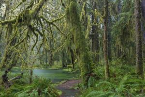 Mossy lush forest along the Maple Glade Trail in the Quinault Rainforest in Olympic NP, Washington. by Chuck Haney
