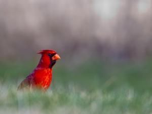 Northern Cardinal in Loup County, Nebraska, USA by Chuck Haney
