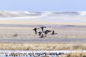 Northern pintail ducks in courtship flight at Freezeout Lake WMA near Fairfield, Montana, USA by Chuck Haney