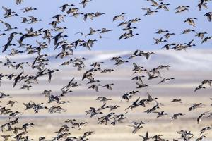 Northern pintail ducks take off from wetlands at Freezeout Lake WMA near Fairfield, Montana, USA by Chuck Haney
