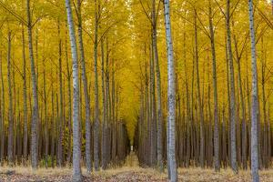 Pacific Albus Trees in Orderly Fashion, Hermiston, Oregon by Chuck Haney