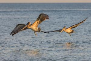 Pair of brown pelicans in flight along Sanibel Island in Florida, USA by Chuck Haney