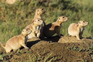 Prairie Dog Family in Theodore Roosevelt National Park, North Dakota, Usa by Chuck Haney
