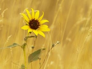 Prairie Sunflower at Palouse Falls State Park, Washington, USA by Chuck Haney