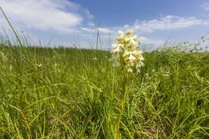 Rare Western Prairie Fringed Orchid, Sheyenne National Grasslands, North Dakota, USA by Chuck Haney