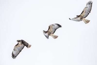 Red tailed hawk in flight sequence at Ninepipe WMA, Ronan, Montana, USA. by Chuck Haney