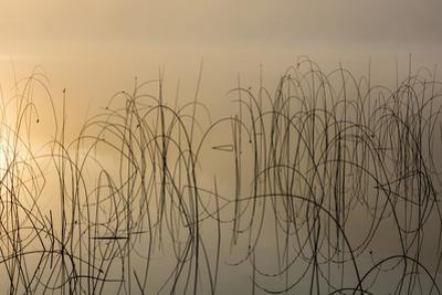Reeds catch sunrise light on foggy morning on Spencer Lake, Whitefish, Montana, USA