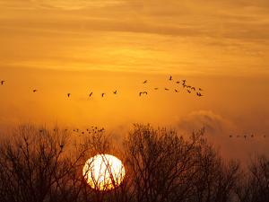 Sandhill Cranes Silhouetted Aginst Rising Sun, Leaving Platte River, Near Kearney, Nebraska, USA by Chuck Haney