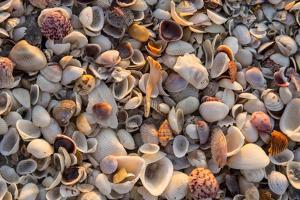 Seashells on Sanibel Island, Florida, USA by Chuck Haney