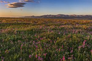 Shooting star wildflowers and the Rocky Mountain Front Range near East Glacier, Montana, USA by Chuck Haney