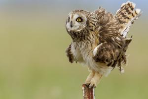 Short eared owl at Ninepipe WMA near Ronan, Montana, USA. by Chuck Haney