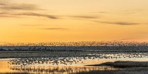 Snow Geese Take Off from Pond at Sunrise During Spring Migration at Freezeout Lake Wma, Montana by Chuck Haney