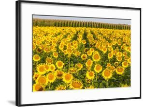 Sunflower and Corn Field in Morning Light in Michigan, North Dakota, USA by Chuck Haney