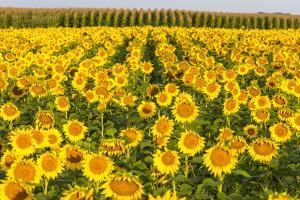 Sunflower and Corn Field in Morning Light in Michigan, North Dakota, USA by Chuck Haney