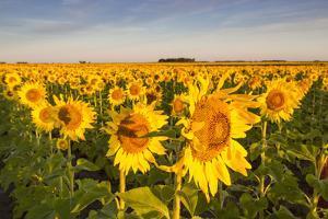 Sunflower Field in Morning Light in Michigan, North Dakota, USA by Chuck Haney