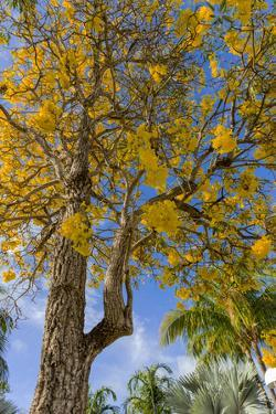 Tabula Tree Flowering in Spring in Key West, Florida, USA by Chuck Haney