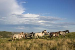 Wild Horses in Theodore Roosevelt National Park, North Dakota, Usa by Chuck Haney