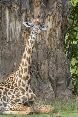Africa, Zambia, South Luangwa National Park. Thornicroft's giraffe. by Cindy Miller Hopkins