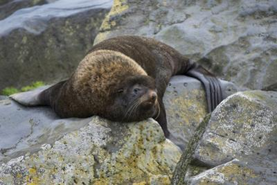 Alaska, Pribilof Islands, Saint Paul, Northern fur seal by Cindy Miller Hopkins
