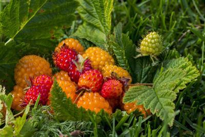 Alaska. Wild golden and red salmonberries by Cindy Miller Hopkins