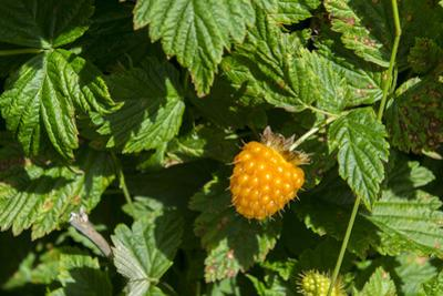 Alaska. Wild golden salmonberries by Cindy Miller Hopkins