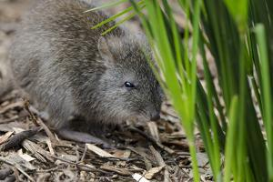 Australia, Adelaide. Cleland Wildlife Park. Long Nosed Potoroo by Cindy Miller Hopkins