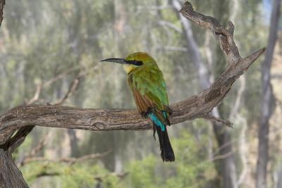 Australia, Alice Springs. Alice Springs Desert Park. Rainbow Bee-Eater by Cindy Miller Hopkins