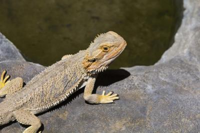 Australia, Alice Springs. Bearded Dragon by Small Pool of Water