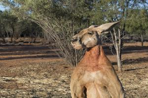 Australia, Alice Springs. the Kangaroo Sanctuary, Large Male Kangaroo by Cindy Miller Hopkins