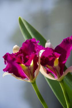 Australia, Northern Territory, Darwin. Jennys Orchid Garden by Cindy Miller Hopkins