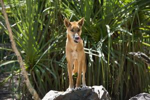 Australia, Northern Territory, Darwin. Territory Wildlife Park. Dingo by Cindy Miller Hopkins