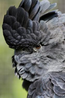 Australia. Wildlife Habitat Zoo. Detail of Red Tailed Black Cockatoo by Cindy Miller Hopkins