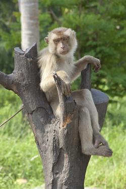 Baby Macaque Monkey, Coconut Plantation, Ko Samui, Thailand by Cindy Miller Hopkins