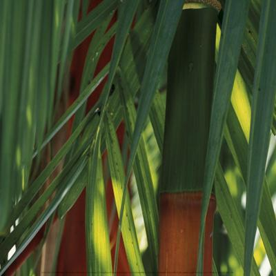 Bamboos, Costa Rica by Cindy Miller Hopkins