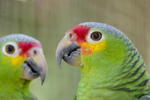 Belize, Belize City, Belize City Zoo. Head detail of pair of Red-lored parrots by Cindy Miller Hopkins