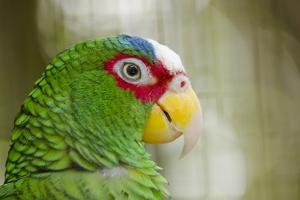 Belize, Belize City Zoo. Close up head view of a White Fronted parrot by Cindy Miller Hopkins