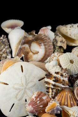 Detail of Seashells from around the World by Cindy Miller Hopkins