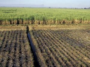 Fertile Fields of Sugar Cane on West Bank, Luxor, Egypt by Cindy Miller Hopkins