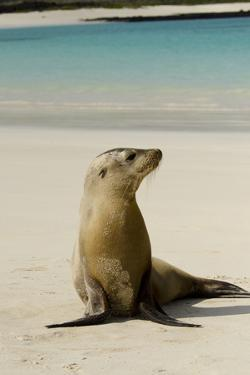 Galapagos Sea Lion on the Beach, San Cristobal, Galapagos, Ecuador by Cindy Miller Hopkins